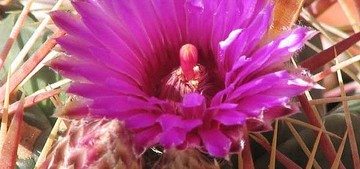 Кактус Ферокактус широкоиглый - Ferocactus latispinus, описание и фото