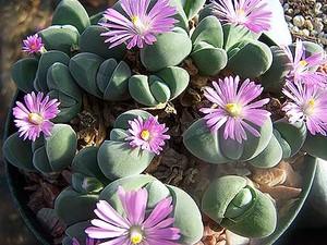 Гиббеум Неравный (Gibbaeum Dispar)    Листья яйцевидные, с бархатистой серо-зеленой поверхностью. Название вида указывает на разный размер листьев каждой пары (лат. dispar - «неодинаковый», «неравный»). Цветки розовые или пурпурно-розовые. Цветет в декабре-январе.