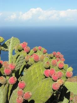Опунция войлочная, Opuntia tomentosa
