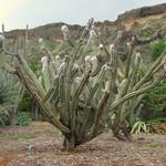Цефалоцереус Палмера — Cephalocereus palmeri