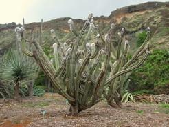 Кактус Цефалоцереус Палмера - Cephalocereus palmeri, описание и фото