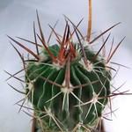 Эхинофоссулокактус мечевидный — Echinofossulocactus gladiatus