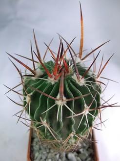 Кактус Эхинофоссулокактус мечевидный - Echinofossulocactus gladiatus, описание и фото