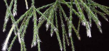 Рипсалис, волосистый, Rhipsalis, pilosa, кактус, фото, описание, уход