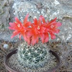 Матукана красивая — Matucana / Loxanthocereus formosa