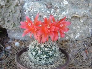 Матукана красивая, Matucana, Loxanthocereus formosa