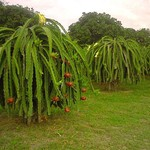 Гилоцереус многокорневой — Нylocereus роlyrhizus