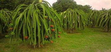 Нylocereus-роlyrhizus