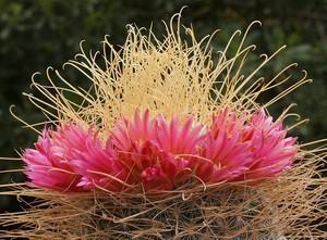 Мамиллярия, кактус, Mammillaria rekoi