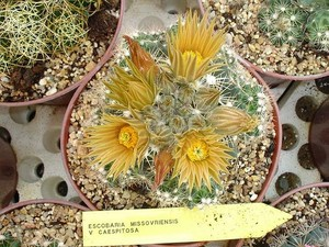 Кактус Эскобария миссурийская разн. дернистая - Escobaria missouriensis var. caespitosa, описание и фото