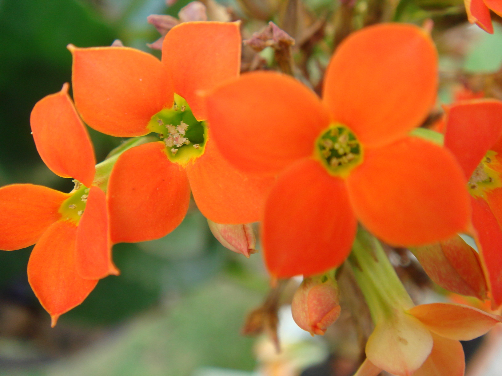 Цветок каланхоэ  уход и размножение  Все о цветах