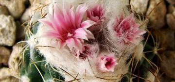 Кактус Турбиникарпус - Turbinicarpus laui, описание и фото