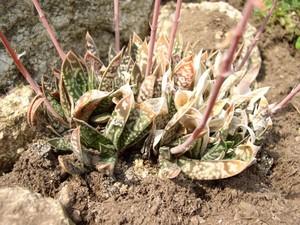 Гастерия Двуцветная (Gasteria Bicolor)    Многолетнее травянистое растение высотой до 30 см. Листья с 3 ребрами, длиной 15-20 см, темно-зеленые, с большими белыми пятнами на обеих сторонах. Листья направлены косо вверх.