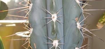 Кактус Эхинопсис бутылковидный - Echinopsis lageniformis, описание и фото