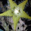 Род Караллума объединяет около 110 видов, распространенных в Африке, Аравии, Индии. Принадлежит к семейству Ластовневых. Караллумы - многолетние растения с толстыми, мясистыми, 3-6-гранными стеблями, более или менее зубчатыми.