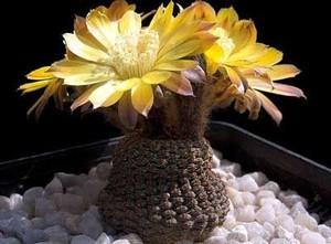 Рейхеокактус ложнорейхов, Reicheocactus pseudoreicheanus