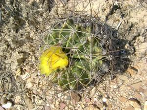 Кактус Ферокактус - Ferocactus echidne, описание и фото