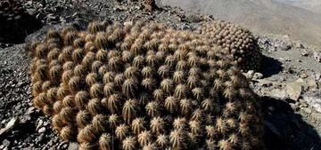 Копиапоя солнечная, Copiapoa solaris, капиапоя, фото