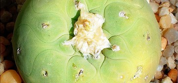 Лофофора желтая, Lophophora lutea