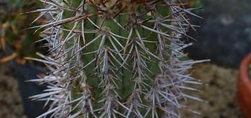 Копиапоя кальдеранская, Copiapoa calderana, копиапоя, фото