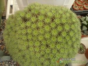 Дейтерокохния  коротколистная (Deuterocohnia  brevifolia)    листья желтовато-зеленые, розетка в диаметре 8-20 см;