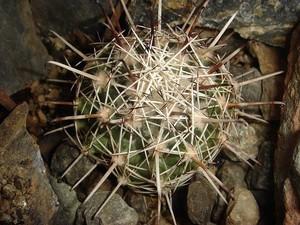 Корифанта Хинтона, Coryphantha hintoniorum, описание, фото
