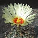 Астрофитум козерогий — Astrophytum capricorne
