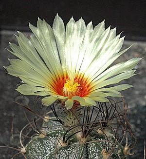 Astrophytum capricorne