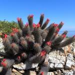 Кочемия крепкая (здоровая) — Cochemiea halei