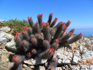 Кочемия халеи, Cochemiea halei, описание, фото
