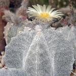 Астрофитум крапчатый тулаский — Astrophytum myriostigma subv. tulense