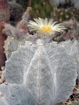Astrophytum myriostigma subv. tulense