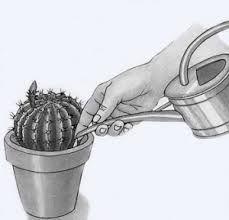 Как часто поливать кактусы? Правильный полив кактусов