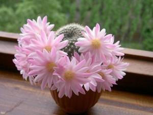 Выращивание кактусы дома на подоконнике