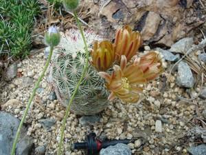 Кактус Эхиноцереус зеленоцветковый Дэвиса - Echinocereus viridiflorus var. davisii, описание и фото
