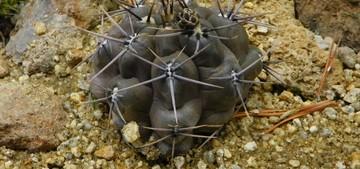 Gymnocalycium-gibbosum1