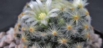 Маммиллярия Шиде, Mammillaria schiedeana