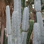 Арматоцереус светлый — Armatocereus laetus
