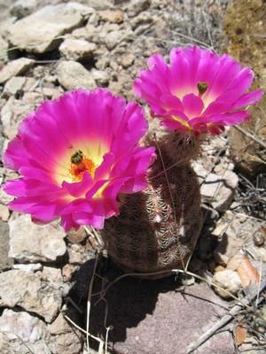 Кактус Эхиноцереус гребенчатый - Echinocereus pectinatus, описание и фото