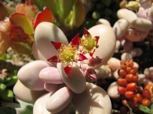 Граптопеталум Аметистовый (Graptopetalum Amethystinum)    Самый распространенный в культуре вид. Низкорослый рыхло облиственный полукустарник, сверху напоминающий розетку. Листья мясистые, булавовидные, их длина и толщина около 3-4 см, листья покрыты сине-серым налетом с лиловым оттенком.