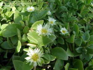 Делосперма Традисканцевидная (Delosperma Tradescantioides)     Стебли очень разветвленные, ползучие. Листья длиной 2,5-3 см, шириной 1,2 см, яйцевидные, заостренные, светло-зеленые, с мелкими папиллами. Цветки одиночные, белые, диаметром 1,5 см.