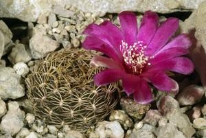 Кактус Сулькоребуция Доры - Sulcorebutia dorana, описание и фото