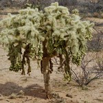 Цилиндропунция Бигелоу — Cylindropuntia bigelovii