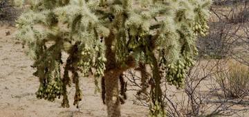 Кактус Цилиндропунция Бигелоу - Cylindropuntia bigelovii, описание и фото