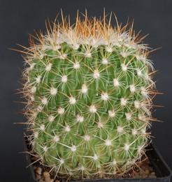Кактус Эхинофоссулокактус Фаупеля - Echinofossulocactus vaupelianus, описание и фото