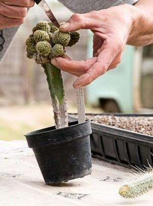 Черенкование кактуса