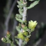Цилиндропунция тонкая — Cylindropuntia leptocaulis