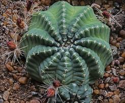 Кактус Эхиноцереус хорошенький - Echinocereus pulchellus, описание и фото