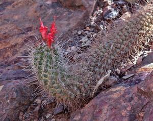 Кочемия маритима, Cochemiea maritima, описание, фото
