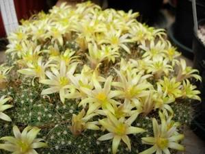 Маммиллярия отростковая , кактус, Mammillaria surculosa, кактус, фотографии уход и описание